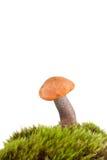 orange för björkboletechampinjon arkivfoto