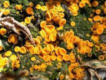 Orange fairy cup fungus Stock Photo