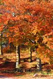 Orange fall Royalty Free Stock Image