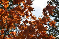 Orange in the Fall Royalty Free Stock Photo