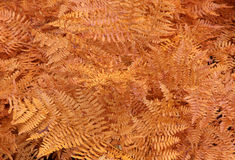 Orange Fall Fern Background Stock Photography