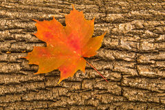 Orange fall leaf on a fallen tree Stock Photo