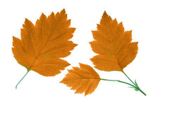 Orange fall leaves Stock Photos