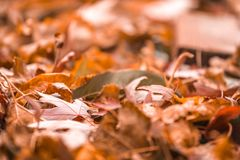Orange fall leaves in pile during Autumn. Selective focu Royalty Free Stock Photography