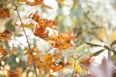 Orange fall leaves on tree. Colorful Fall Folliage in North Carolina Mountains. Autumn trees with brightly colored leaves royalty free stock photography