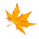 Orange fall maple leaf Stock Photos