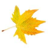 Orange fall maple leaf Stock Images