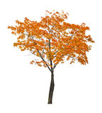 Orange fall maple tree isoalted on white. Orange autumn maple tree isoalted on white background Royalty Free Stock Photos