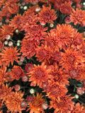Orange Fall mums Royalty Free Stock Photos