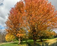 Orange Fall Tree with Leaves Falling. A bright orange fall maple tree with leaves on the tree and also covering the ground in Wisconsin stock photo