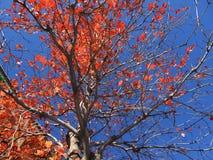 orange Fallblätter und ein blauer Himmel Lizenzfreie Stockbilder