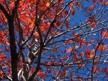 orange Fallblätter und ein blauer Himmel Stockfotografie