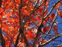 orange Fallblätter und ein blauer Himmel Stockfoto