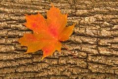 Orange Fallblatt auf einem gefallenen Baum Stockfoto