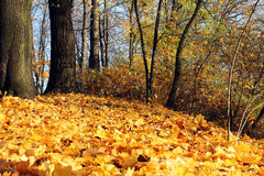 Orange fallen leaves in autumn park at sunny day Royalty Free Stock Photography