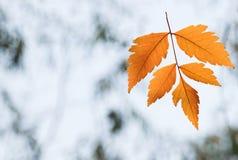 Orange falling leaf close-up. On blurred background Royalty Free Stock Photo