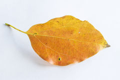 Orange falling leaf Royalty Free Stock Photos