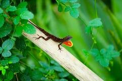 Orange fanned lizard Stock Photo