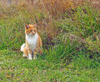 Orange Farm Cat Stock Photos