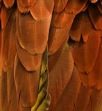 Orange Feathers Royalty Free Stock Image