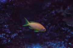 Orange feenhaftes basslet nannte auch Meer-goldie Pseudanthias-squamip stockfotos