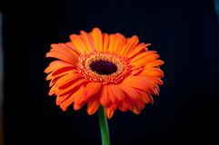 An orange ferber daisy against a black background royalty free stock photo