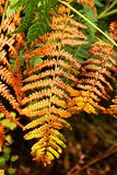 Orange fern. Grows in the forest Royalty Free Stock Image