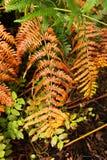 Orange fern Royalty Free Stock Image