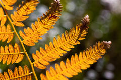 Orange fern leaf Stock Photos