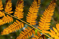 Orange fern leaf Royalty Free Stock Photo