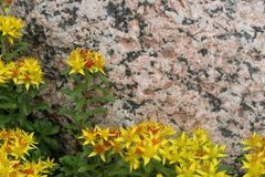 Orange fetknoppsedum som växer mot granit arkivbild