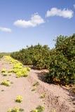 Orange field. In the mediterranean coast of spain Royalty Free Stock Photos