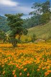 Orange field. Orange flowers field. Chang Mai, Thailand Royalty Free Stock Image