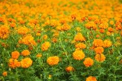 Orange field. Orange flowers field. Chang Mai, Thailand Stock Image
