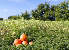 Orange field and tangerines. Orange field on a sunny day Stock Photos
