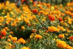 Orange fields. Fields of bright orange flowers Royalty Free Stock Photo