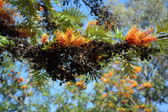 Orange filamentous flower and black seeds in tree. Stock Photo