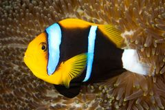 Orange Fin Anemonefish. An orange fin anemonefish living in the tentacles of its anemone Royalty Free Stock Photo