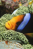 Orange-fin Anemonefish sheltering in anemone Royalty Free Stock Image