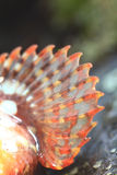Orange fin scorpion fish Royalty Free Stock Photo