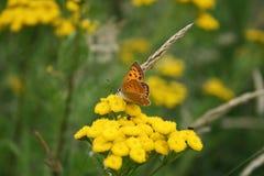Orange fire butterfly. Little orange fire butterfly drinking nectar on yellow flowers stock photos