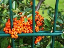 Intensive orange firethorn in closeup royalty free stock photo