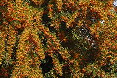 Orange Firethorn. Pyracantha sp. berries on the bush royalty free stock photography
