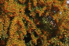 Orange Firethorn royalty free stock photography