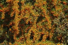 Orange Firethorn royalty free stock photo