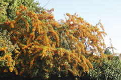 Orange Firethorn. Pyracantha sp. berries on the bush stock image