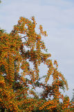Orange Firethorn. Pyracantha sp. berries on the bush royalty free stock photo