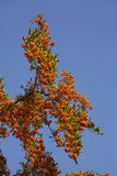 Orange Firethorn. Pyracantha sp. berries on the bush stock photo