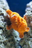 Orange Fische Stockbilder
