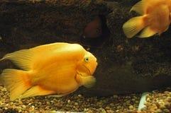 Orange Fische Stockbild